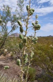 Plant popular with Tarantula Hawks